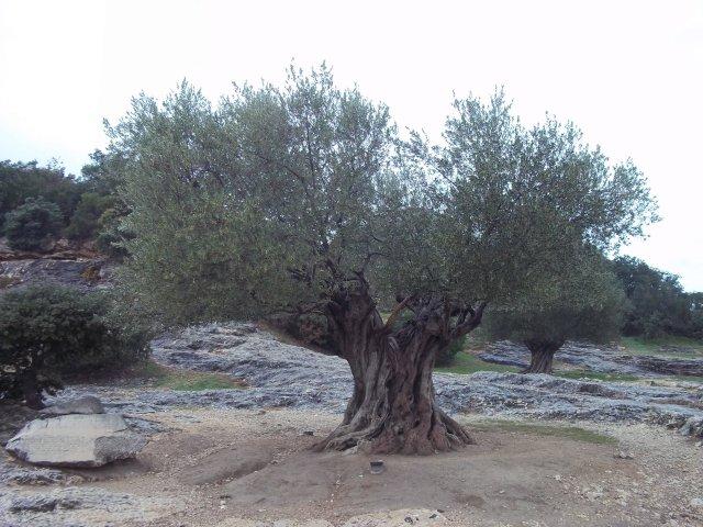 sous l'olivier centenaire?