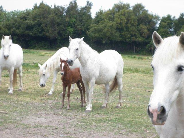 et le troupeau de la manade!