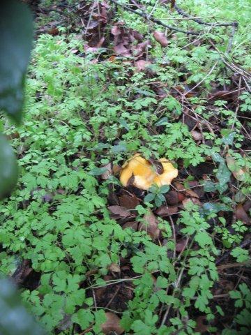 Tout près...Oh!!! Des champignons camoufflés!!!